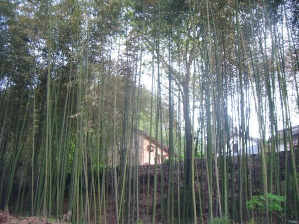 竹林背景简笔画